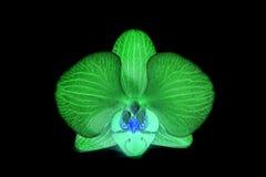 Орхидеи на изолированной предпосылке красивый цветок разветвляет орхидеи Стоковые Изображения