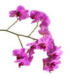 Орхидеи на изолированной предпосылке красивый цветок разветвляет орхидеи Стоковые Фотографии RF