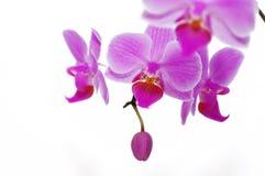орхидеи подняли Стоковая Фотография