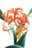 орхидеи померанца ветви стоковое фото rf