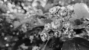 Орхидеи смертной казни через повешение Стоковое фото RF