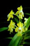 орхидеи тайские Стоковые Изображения