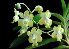 орхидеи тайские Стоковое Изображение RF