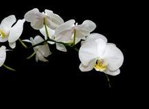 орхидеи черноты предпосылки зацветая белые Стоковые Изображения RF