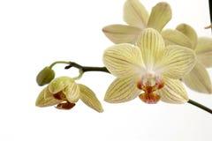 орхидеи Стоковые Изображения RF
