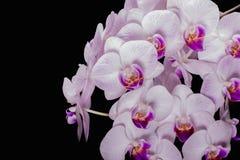 Орхидея бутонов цветка на черной предпосылке Стоковое Фото