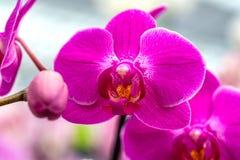 Орхидея в цветке сада в саде Стоковые Фото