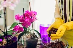 Орхидея женщины трансплантируя в другой бак на кухне Домохозяйка позаботить о домашние заводы и цветки стоковое изображение rf