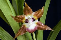 орхидея кота Стоковые Изображения