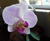 Орхидея красоты фиолетовая, малый сад в Бразилии Стоковые Фотографии RF
