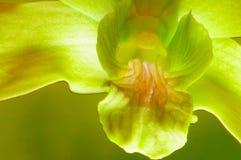 орхидея крупного плана зеленая Стоковое Фото