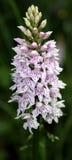 орхидея одичалая Стоковые Фото