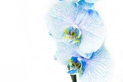 Орхидея покрашенная синью Стоковое фото RF