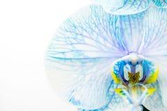 Орхидея покрашенная синью Стоковое Изображение