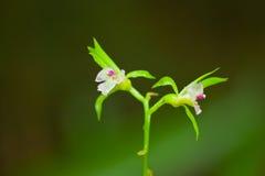 орхидея понедельника daeng стоковые изображения