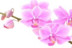 орхидея предпосылки близкая вверх по белизне Стоковое Изображение RF