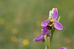 орхидея пчелы стоковая фотография