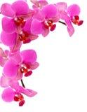 орхидея рамки Стоковая Фотография RF