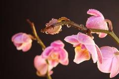 орхидея сумеречницы стоковые изображения rf
