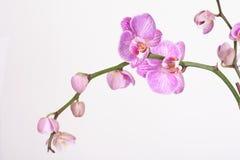орхидея сумеречницы стоковая фотография