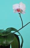 Орхидея с белым цветком Стоковая Фотография