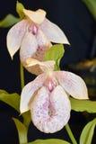 Орхидея тапочки Формозы Ladys Стоковое фото RF