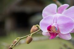 Орхидея фаленопсиса крупного плана пурпурная в саде стоковая фотография rf