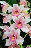 орхидея цветения Стоковые Фото