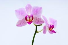 орхидея цветения Стоковые Фотографии RF
