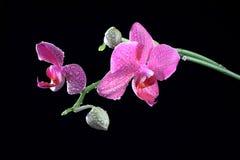орхидея цветка бутона ветви Стоковое фото RF
