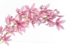 орхидея цветка над белизной стоковое изображение rf