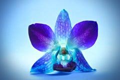 орхидея цветка Стоковое Изображение