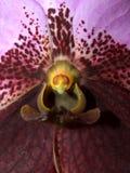 орхидея 03 цветков Стоковое Изображение
