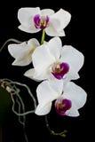 орхидея бесплатная иллюстрация