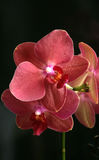 орхидея Стоковые Фотографии RF