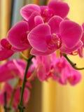орхидея Стоковое Изображение