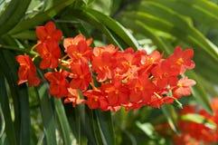 Орхидея Ascocenda стоковая фотография rf