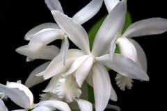 орхидея cattleya стоковое фото