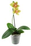орхидея flowerpot стоковое изображение rf