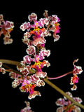 орхидея oncidium cartaghenense Стоковое Изображение RF