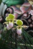 Орхидея Paphiopedilum в цветении Стоковая Фотография RF