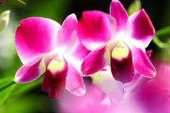 орхидея sonia Стоковое Изображение