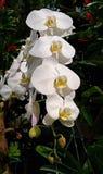 Орхидея Vanda Орхидные стоковое изображение rf