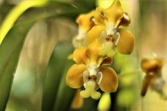 Орхидея Vanda с тенями желтого и белого стоковые изображения rf