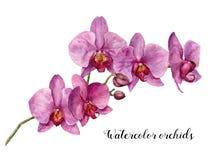 Орхидеи акварели Рука покрасила флористическую ботаническую иллюстрацию изолированный на белой предпосылке Для дизайна или печати иллюстрация штока