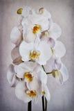 орхидеи белые стоковые изображения