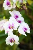 орхидеи белые Стоковые Фото