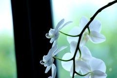 орхидеи белые Стоковая Фотография