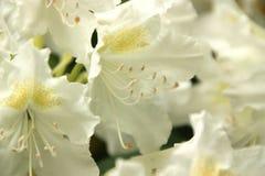 орхидеи белые Стоковое фото RF