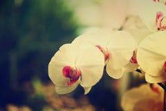 Орхидеи белых цветков Стоковая Фотография RF